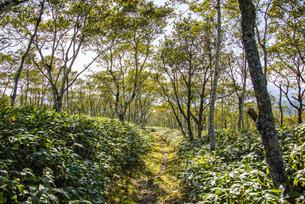摩周岳へ続くダケカンバの林の写真素材 [FYI04671652]
