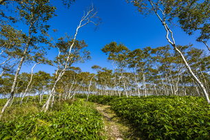 摩周湖の外輪山のダケカンバの林の写真素材 [FYI04671653]