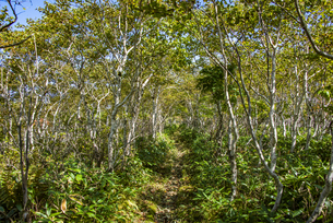 摩周岳のシラカバの登山道の写真素材 [FYI04671680]