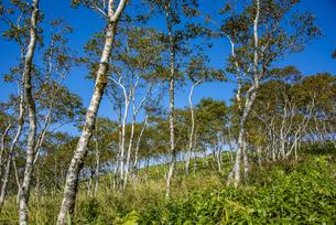 ダケカンバの森(摩周岳)の写真素材 [FYI04671748]