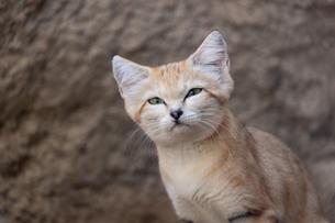 スナネコの顔アップの写真素材 [FYI04672102]