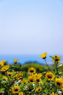 ソレイユの丘 上を向いて咲く向日葵の写真素材 [FYI04672173]