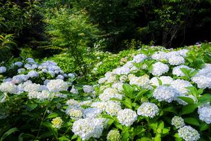 白い紫陽花の写真素材 [FYI04672176]