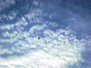 上空を舞うトンビの写真素材 [FYI04672448]