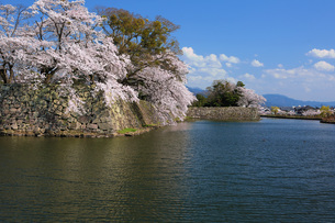 彦根城お堀の桜の写真素材 [FYI04672548]