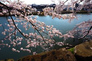 彦根城お堀の桜の写真素材 [FYI04672557]