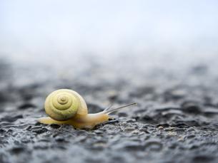 湿った路面を進むカタツムリの写真素材 [FYI04672718]