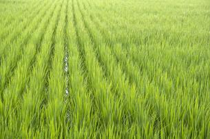 まだ若い鮮やかな稲の穂の写真素材 [FYI04672726]