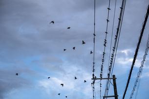 電線から飛び立つムクドリの群れの写真素材 [FYI04672732]