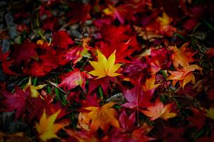 秋の落ち葉の写真素材 [FYI04673082]