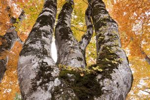 ブナの木の写真素材 [FYI04673099]