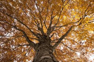 ブナの木の写真素材 [FYI04673100]