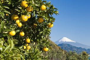 みかんと富士山の写真素材 [FYI04673117]