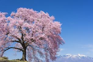 王仁塚の桜と八ヶ岳の写真素材 [FYI04673139]