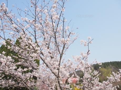 桃 桜 春 風景の写真素材 [FYI04673278]