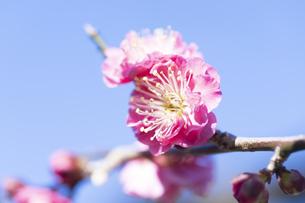 梅の花の写真素材 [FYI04673379]