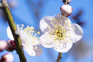 梅の花の写真素材 [FYI04673405]