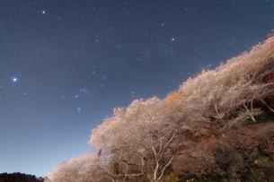 四季桜と冬の大三角形の写真素材 [FYI04673451]
