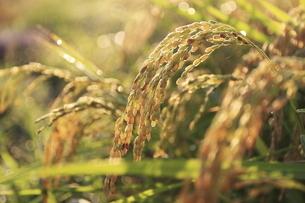 収穫を待つ稲穂の写真素材 [FYI04673475]