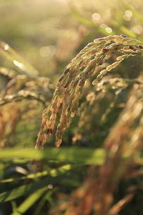 収穫を待つ稲穂の写真素材 [FYI04673476]