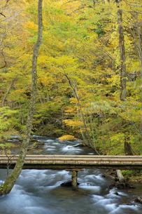 紅葉の奥入瀬渓流と遊歩道の写真素材 [FYI04673504]