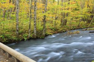 遊歩道から望む紅葉の奥入瀬渓流の写真素材 [FYI04673505]