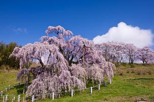 三春の滝桜の写真素材 [FYI04673738]