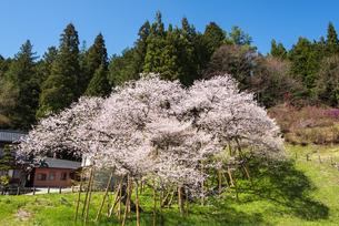 臥龍桜の写真素材 [FYI04673739]