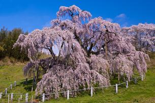三春の滝桜の写真素材 [FYI04673746]