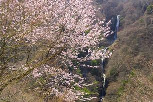 桜と八滝の写真素材 [FYI04673758]
