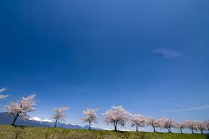桜並木と北アルプスの写真素材 [FYI04673761]