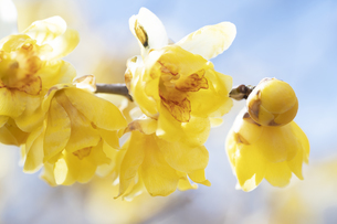 ロウバイの花の写真素材 [FYI04673827]