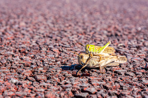【昆虫】クルマバッタの交尾 マクロ撮影の写真素材 [FYI04673967]