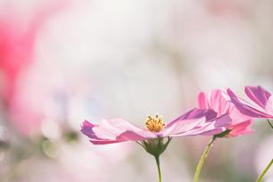 【秋】ピンク色のコスモスの花が花畑で咲いている様子 背景素材の写真素材 [FYI04673971]