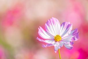 【秋】ピンク色のコスモスの花が花畑で咲いている様子 背景素材の写真素材 [FYI04673978]