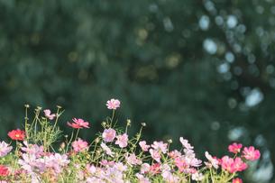 【秋】コスモスの花が花畑で咲いている様子 自然風景の写真素材 [FYI04673979]