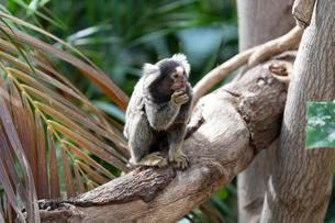 木の上で餌を食べるコモンマーモセットの写真素材 [FYI04674207]