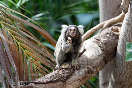 木の上で餌を食べるコモンマーモセットの写真素材 [FYI04674208]