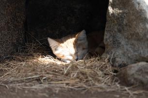 日なたで眠るスナネコの写真素材 [FYI04674238]