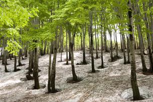 残雪とブナの木の写真素材 [FYI04674400]