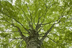 ブナの木の写真素材 [FYI04674402]