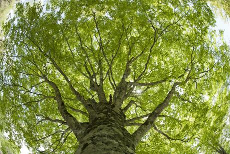 ブナの木の写真素材 [FYI04674403]
