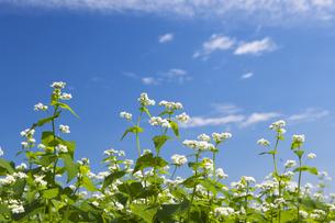 ソバの花の写真素材 [FYI04674410]