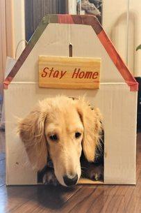 ステイホームする犬の写真素材 [FYI04674486]