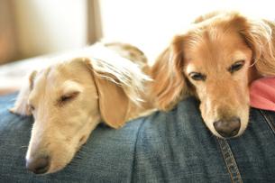 膝の上で仲良く眠る犬の写真素材 [FYI04674487]
