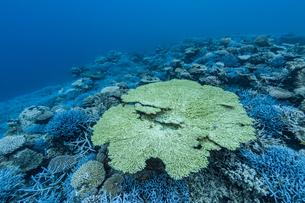 西表島 イダの浜に群生するテーブルサンゴの写真素材 [FYI04674497]