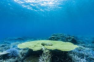 西表島 イダの浜に群生するテーブルサンゴの写真素材 [FYI04674498]