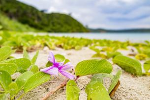 イダの浜に咲くグンバイヒルガオの写真素材 [FYI04674511]