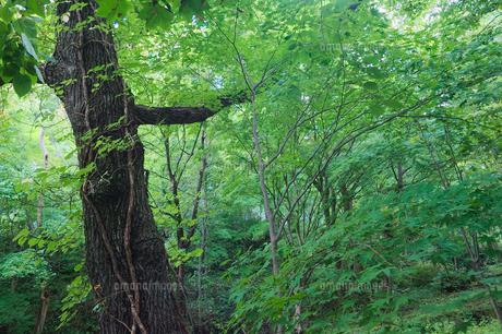 森の大木の写真素材 [FYI04674566]
