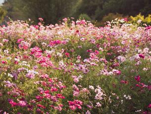 【秋】コスモスの花が夕方の花畑で咲いている様子 自然風景の写真素材 [FYI04674584]